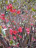 Spring Quince Blooms - panoramio.jpg