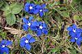 Spring gentian - Gentiana verna - panoramio (5).jpg