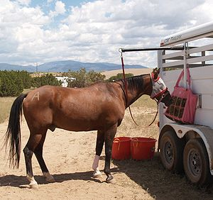 Picket line - Horse tied to an overhead pole on a trailer