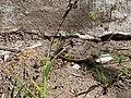 Spur-thighed tortoise in Pirshagi, Azerbaijan 2.jpg