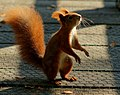 Squirrel Dance (6204444176).jpg