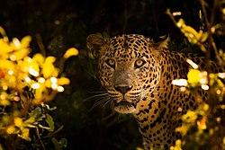 Sri Lankan Leopard (Panthera pardus kotiya) .jpg