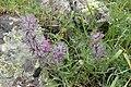 Stachys lavandulifolia kz03.jpg