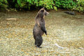 Standing Alaskan Coastal Brown bear.jpg