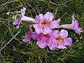 Starr-010423-0027-Podranea ricasoliana-flowers-Kula-Maui (24532374265).jpg