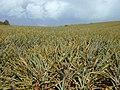 Starr-010424-0003-Ananas comosus-plantation-Pukalani-Maui (23905638163).jpg