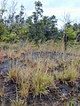 Starr-011205-0109-Hyparrhenia rufa-habit-Hwy11 HAVO-Hawaii (23915754404).jpg