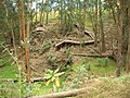 Starr-050815-3505-Bocconia frutescens-habit and zipline-Pohakuokala Gulch-Maui (24801416495).jpg
