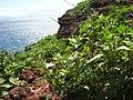 Starr-060406-9289-Chenopodium murale-habit-Puu Pehe-Lanai (24743670072).jpg