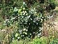 Starr-070207-4327-Calotropis procera-habit with flowers and fruit-Maui Lani Kahului-Maui (24855819916).jpg