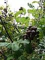 Starr-070621-7488-Rubus niveus-form a fruit and leaves-Upper Kimo Dr Kula-Maui (24263040883).jpg
