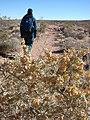 Starr-071222-0287-Atriplex canescens-inflorescences with Kim on trail-Calico Basin-Nevada (30675389314).jpg