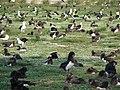Starr-080531-4724-Lobularia maritima-habit with Laysan albatross-Parade field Sand Island-Midway Atoll (24615152100).jpg