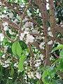 Starr-090618-1248-Syzygium malaccense-white flowers-Wailua-Maui (24966042345).jpg