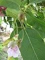 Starr-090707-2291-Catalpa longissima-flower and leaves-Waikapu-Maui (24341970783).jpg