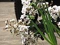 Starr-090720-3015-Lagerstroemia indica-flowers and leaves-Waiehu-Maui (24343249643).jpg