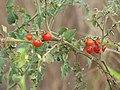 Starr-090814-4324-Solanum lycopersicum-fruit-Industrial area Mokulele Hwy-Maui (24972262625).jpg