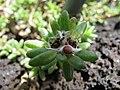 Starr-091104-0756-Portulaca villosa-seeds and capsules-Kahanu Gardens NTBG Kaeleku Hana-Maui (24869555882).jpg