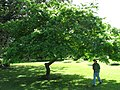 Starr-091104-0863-Pithecellobium alexandri-habit-Kahanu Gardens NTBG Kaeleku Hana-Maui (24360873923).jpg