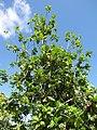 Starr-091104-8951-Artocarpus altilis-habit-Kahanu Gardens NTBG Kaeleku Hana-Maui (24361519613).jpg