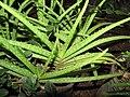 Starr-110209-0709-Aloe vera-leaves-Resort Management Group Nursery Kihei-Maui (24981097991).jpg