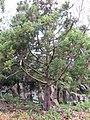 Starr-110307-2046-Cryptomeria japonica-habit-Kula Botanical Garden-Maui (25077479475).jpg