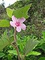 Starr-110722-7159-Urena lobata-flowers and leaves-Waihee Ridge Trail-Maui (24469879504).jpg