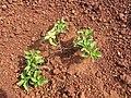 Starr-110929-9685-Acanthospermum australe-habit-Hanaula-Maui (25117083845).jpg