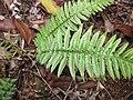 Starr-120229-3035-Doodia kunthiana-habit-Waikapu Valley-Maui (24509576683).jpg