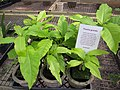 Starr-120522-5904-Pisonia grandis-seedlings for sale-Iao Tropical Gardens of Maui-Maui (24775172759).jpg