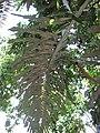 Starr-120522-6003-Arenga undulatifolia-frond-Iao Tropical Gardens of Maui-Maui (24847361880).jpg