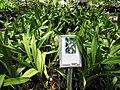 Starr-120522-6551-Miltassia sp-Shelob Tolkien in pots-Iao Tropical Gardens of Maui-Maui (25143914545).jpg