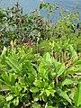 Starr-130318-2614-Canna indica-flowering habit-Kilauea Pt NWR-Kauai (24912091350).jpg