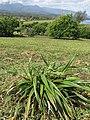 Starr-130321-3702-Dianella sandwicensis-outplanting-Crater Hill Kilauea Pt NWR-Kauai (24913943650).jpg