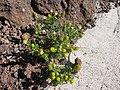 Starr-130801-2772-Matricaria discoidea-flowering habit-Summit HNP-Maui (24963497740).jpg