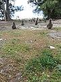 Starr-150401-1144-Coronopus didymus-habit and Laysan Albatrosses-West Beach Sand Island-Midway Atoll (25246707366).jpg