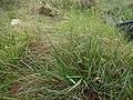 Starr-170727-0511-Paspalum scrobiculatum-seeding habit-Makamakaole-Maui - Flickr - Starr Environmental.jpg