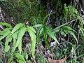 Starr-180305-0652-Pteris cretica-habit-Kahikinui-Maui (40341054425).jpg