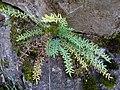 Starr-180305-0803-Pellaea ternifolia-habit-Kahikinui-Maui (39427280450).jpg