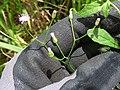 Starr-180421-0070-Cyanthillium cinereum-flowers-Honolua Lipoa Point-Maui (29587830128).jpg