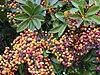 Starr 020108-0006 Schefflera arboricola