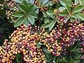 Starr 020108-0006 Schefflera arboricola.jpg