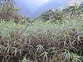 Starr 020925-0027 Melinis minutiflora.jpg