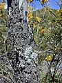Starr 030222-0070 Sophora chrysophylla.jpg