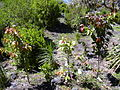 Starr 030517-0002 Xylosma hawaiiense.jpg