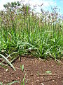 Starr 060416-7707 Cyperus rotundus.jpg