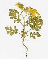 Starr 060906-9001 Solanum rostratum