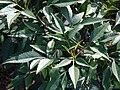 Starr 061222-2571 Bidens micrantha subsp. kalealaha.jpg