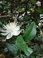 Starr 080326-3708 Myrtus communis.jpg