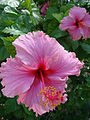 Starr 080531-4891 Hibiscus rosa-sinensis.jpg
